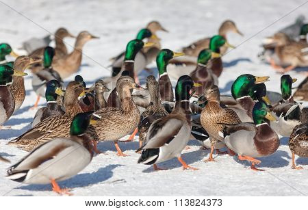 Flock Of Ducks In Winter