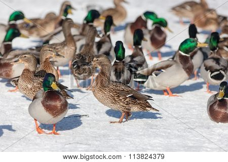 Ducks In Winter Day