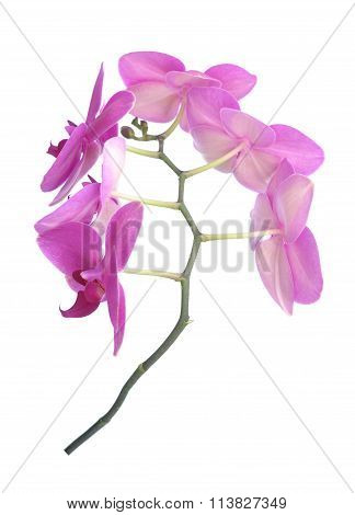 fresh purple orchid brach isolated on white background