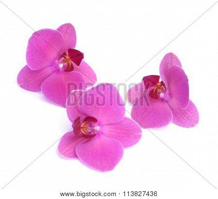 three fresh purple orchids on white background