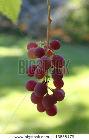 Red grape vine