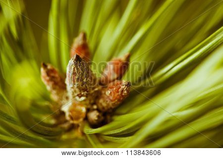 Resinous Pine Buds