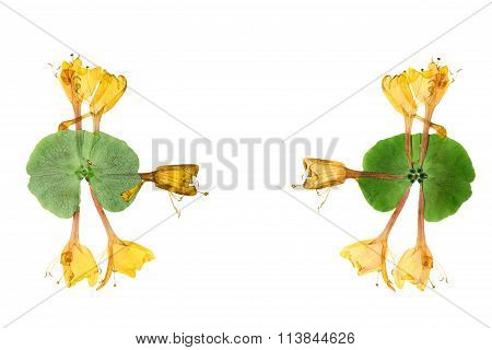 Pressed And Dried Flower  Honeysuckle (lonicera). Isolated On White Background.