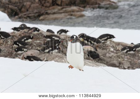 Gentoo Penguin Rookery, Neko Harbor, Antarctica