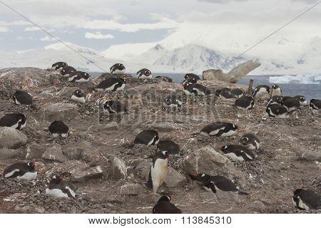 Neko Harbor Rookery, Antarctica