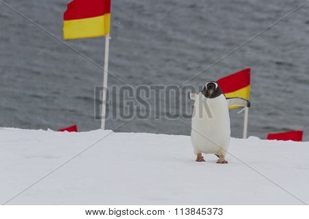 Penguin Navigating Flags In Snow