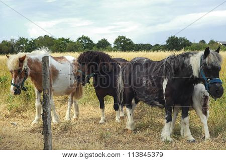 Horses In Brittany