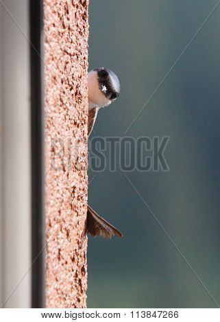 Swallow - Bird On Outdoor