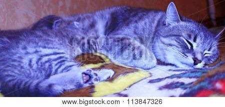 Cat With Kittens Of Scottish Straight Breed