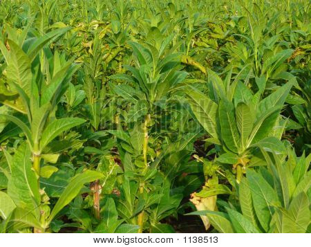 Tobacco Plantation