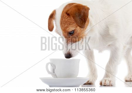 Breed Doggie Jack Russell With A White Cup