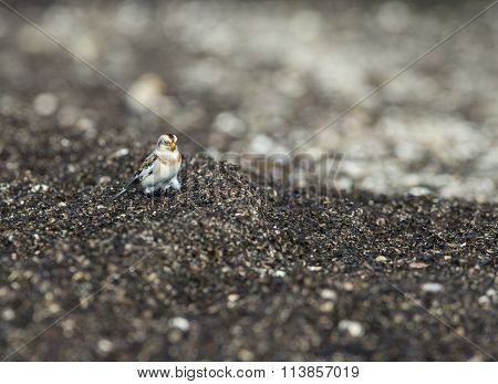 Snow Bunting Foraging In Wrack Zone