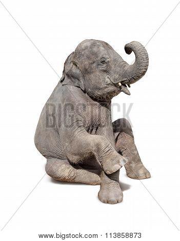 Elephant Sit Down Isolated On White Background