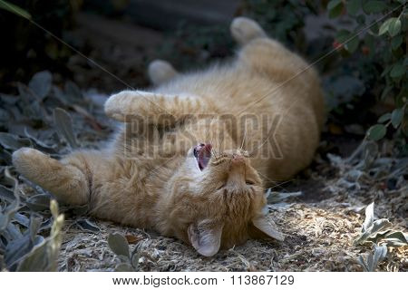 Domesticated orange tabby cat rolling around in the dirt outside yawning