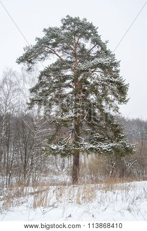 Cold Day In The Snowy Winter Forest. Pine-tree