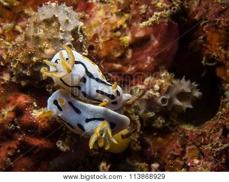 Chromodoris Dianae Nudibranch, Sea Slug, Mating