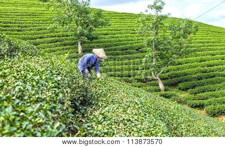 Farmers curved tea pickers