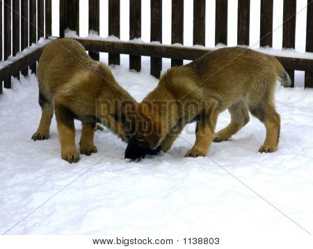 Two Puppies Play