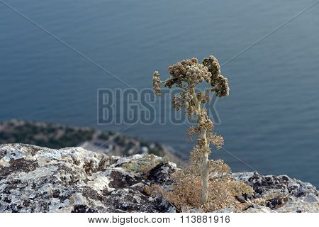 Lonely Plant On Cold Edge Of Steep Mountainside In Crimea.