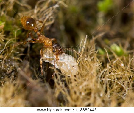 Common red ant (Myrmica rubra) with pupa