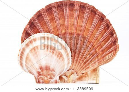 Some Seashells Of Mollusk Isolated On White Background