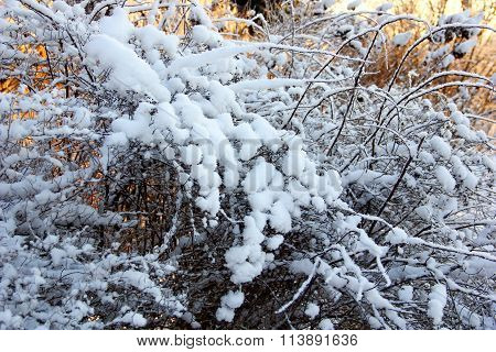 the beautiful bush covered with snow