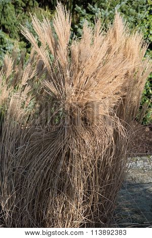 Reed Bound Together In The Garden In Winter