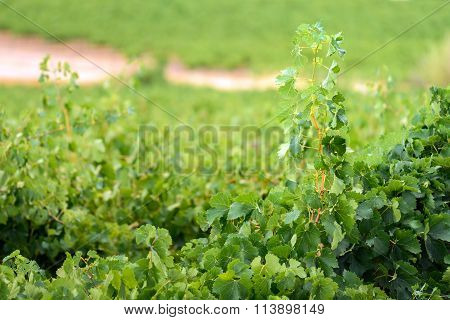 Grape Stalk