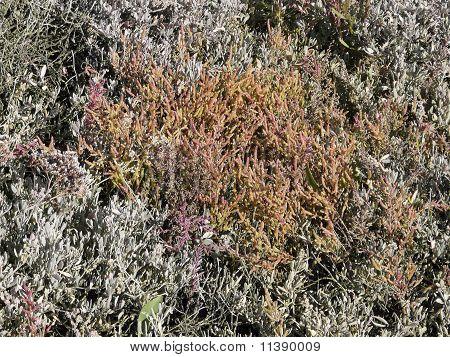 Common Glasswort, Salicornia europaea, on the Salt marsh in autumn
