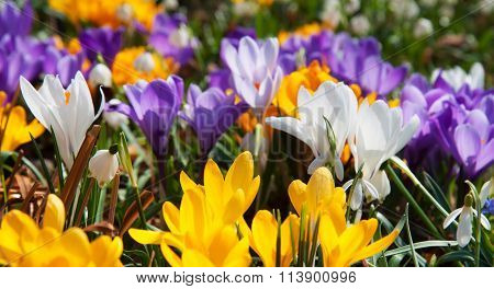 Blooming yellow and crocuses