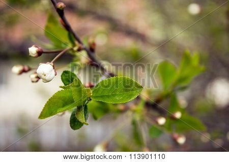 flowering tree covered with flowers, buds, buds and leaves