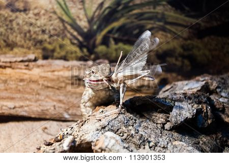 Bearded Dragon Lizard Eating Grasshopper