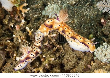 Nudibranch Mating Behavior
