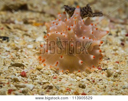 Halgerda Batangas Nudibranch, Sea Slug
