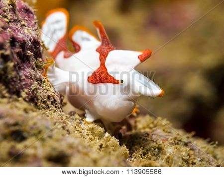 White Clown Frogfish
