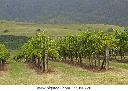 Summer Vineyards