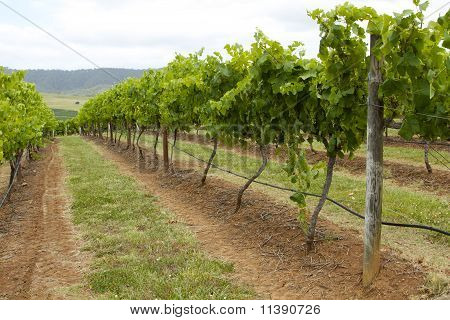 Rows Of Shiraz In The Vineyard