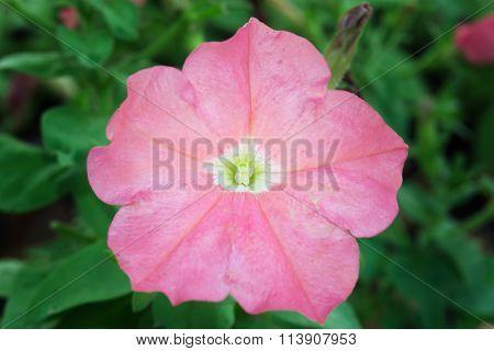 Pink Desert Rose Flower (other Names Are Desert Rose, Mock Azalea, Pinkbignonia, Impala Lily, Adeniu