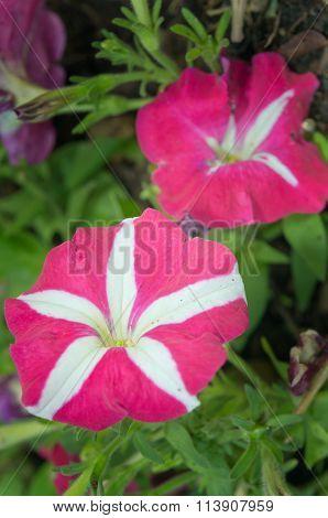Pink And White Hybrid Desert Rose Flower (other Names Are Desert Rose, Mock Azalea, Pinkbignonia, Im