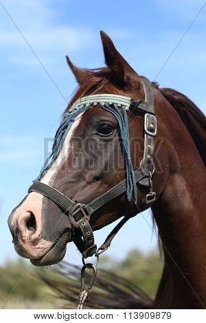 Beautiful Arabian Horse Looking Around On Summer Corral