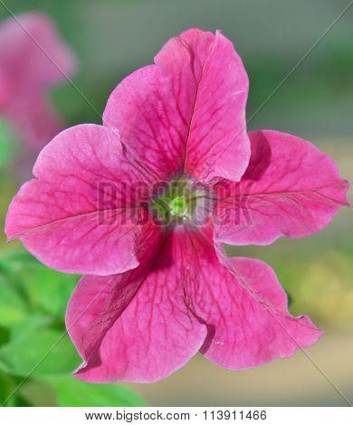 Pink Petunia Hybrid Flower In Rama 9 (local Name) National Garden, Bangkok Thailand