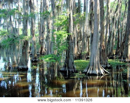 Cypress Trees at Caddo Lake,Texas