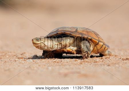 Helmeted terrapin (Pelomedusa subrufa) on land, South Africa