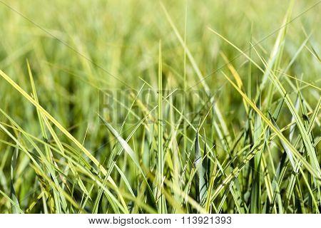 Background of fresh green grass