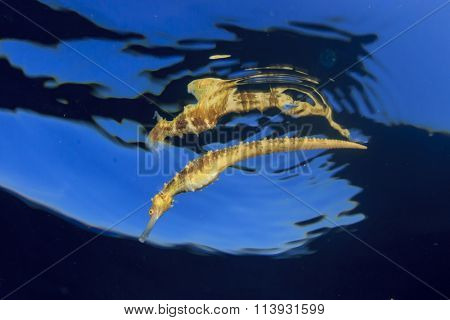 Seahorse and reflection at ocean surface