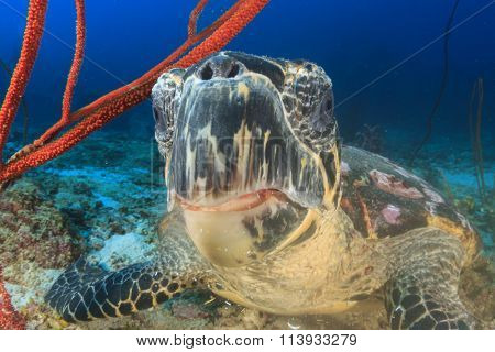 Hawksbill Sea Turtle eating coral