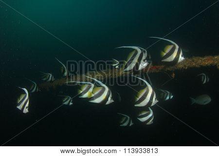 Tropical fish Longfin Bannerfish