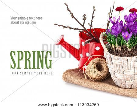 Spring still life with flowers crocus and branch tree. Isolated on white background