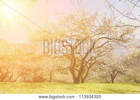 Romantic garden of plum blossom tree in sunny day.