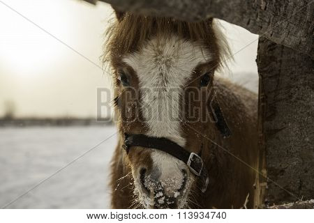 Portrait of pony  in winter paddock